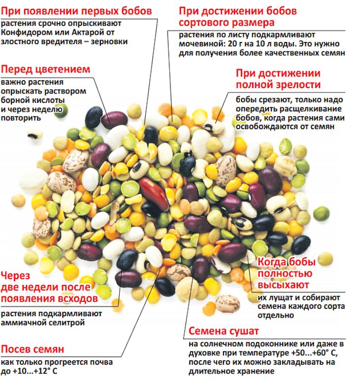 Выращивание бобов из семян 6