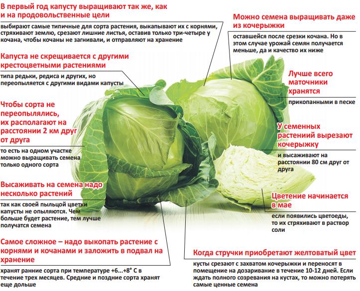 Выращивание капусты все этапы 83