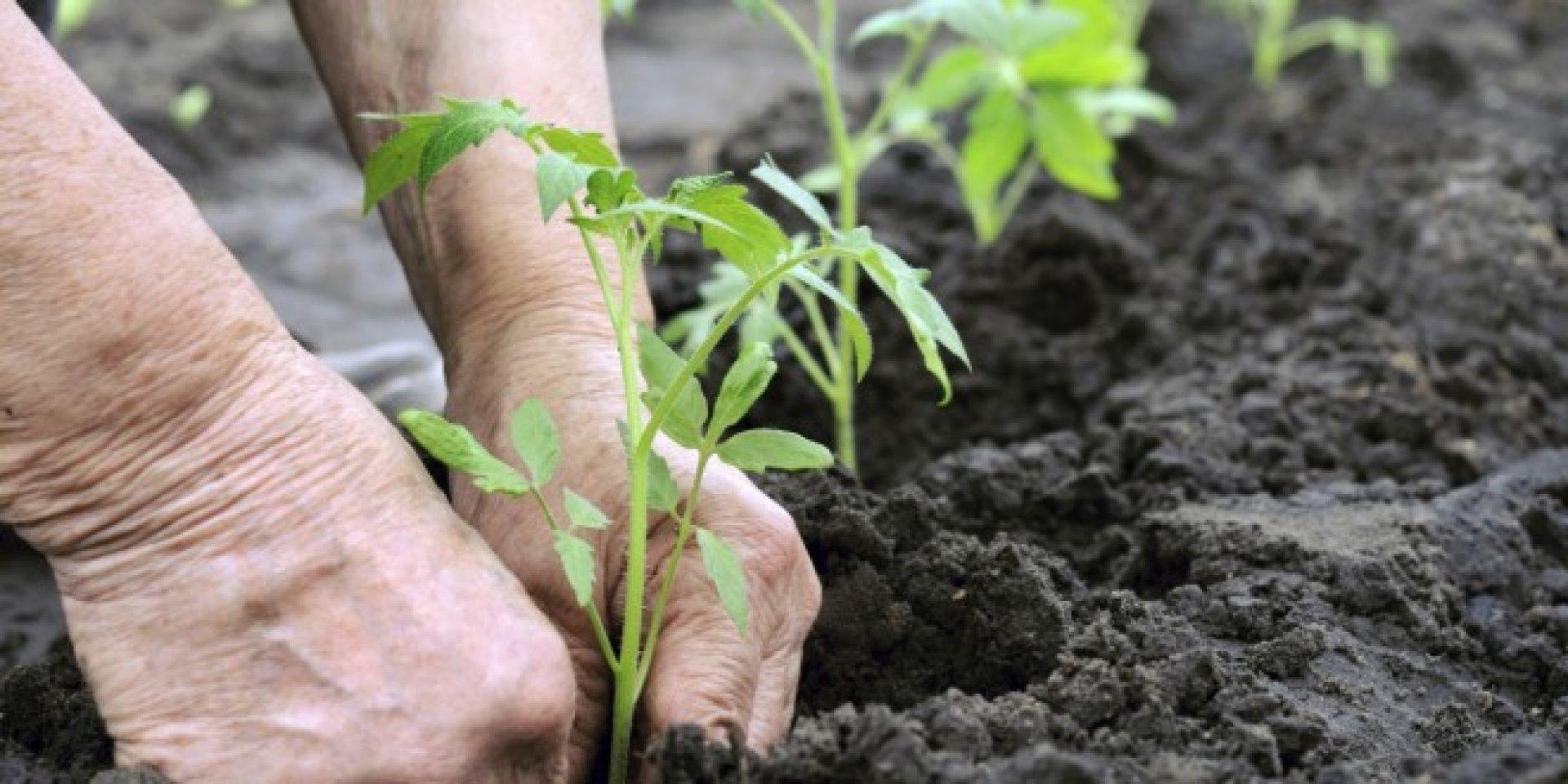 Когда сажать рассаду в открытый грунт Секреты 4