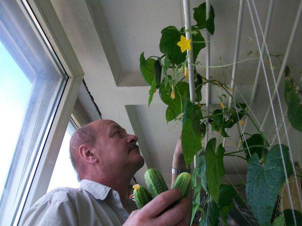 Выращивание кабачков на подоконнике зимой 38